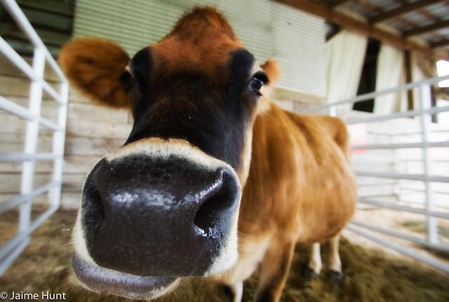 Moo? Cow.