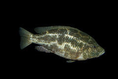 atlanta fish malawi georgiaaquarium cichlid nimbochromispolystigma taxonomy:binomial=nimbochromispolystigma