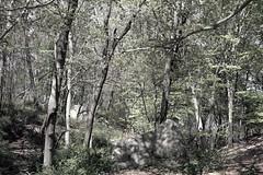 Glacial Erratic and Barberry (sandy richard) Tags: usa newyork unitedstates geology wildwood calverton wildwoodstatepark newyorkstateparks sandyrichard longislandgeology sandrarichard