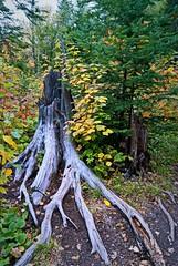 Tettegouche State Park (Doug Wallick) Tags: park old tree minnesota state north shore stump picnik lightroom tettegouche a230