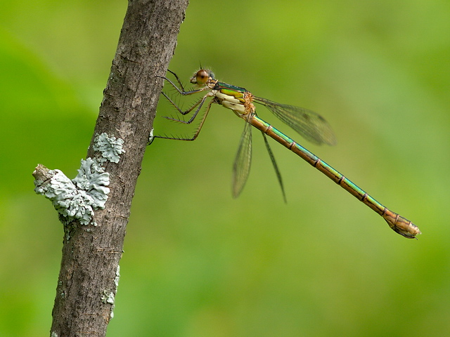 I believe this spreadwing damselfly is the Emerald Spreadwing, Lestes dryas.