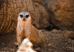 এর নাম Meerkat