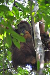 Male orang utang (Christophe Maerten) Tags: park mountains trek sumatra parks unesco national jungle area gunung orang hutan bukit protected utang lawang gebied beschermd leuser sumaterazomer2011
