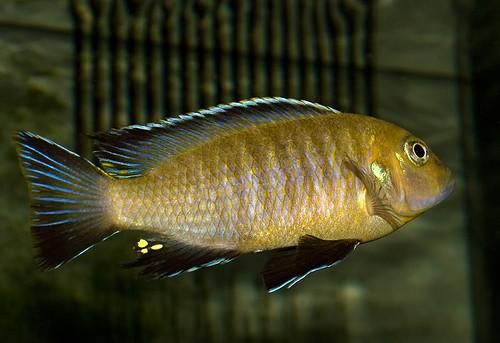 Metriaclima nigrodorsalis Thundu
