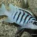 Metriaclima sp. 'zebra chilumba' Katale Island