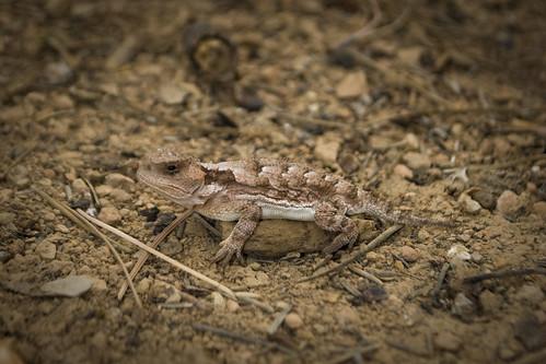 The Mountain Short-Horned Lizard