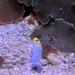 Yellowhead jawfish-1