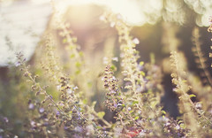 these sundowns are melting  like vanilla ice-cream (Maegondo) Tags: park flowers autumn sunset sun nature field backlight canon germany bayern deutschland bavaria 50mm dof sundown bokeh 14 september dreamy vanilla hazy depth creamy ingolstadt eos550d