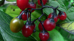 wild berries (david_f_knight) Tags: wildberries woodynightshade woodynightshadeberries