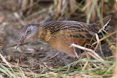 Pondside Virginia Rail (Jeff Dyck) Tags: grass birds virginia winnipeg rail manitoba marsh virginiarail fortwhyte naturesfinest gruiformes coth jeffdyck ralluslimicola rallidae fortwhytealive avianexcellence