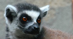 Lemur (John Horstman (itchydogimages, SINOBUG)) Tags: china grey zoo beijing lemur tumblr itchydogimages