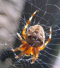 sunshine spider web arachnid