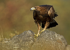 Eagle_2100 (Peter Warne-Epping Forest) Tags: uk canon eagle aquila golde chrysaetos