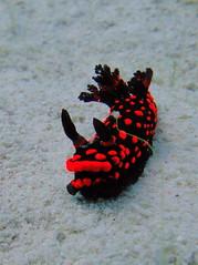 Red Nudibranch (mattk1979) Tags: red coral island underwater philippines scuba diving cebu nudibranch reef visayas malapascua threshersharkdivers