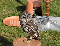 Rescued Owls (ray 96 blade (retired)) Tags: mayor large best owls birdsofprey viewed broadstairs owlrescue broadstairsfoodfairweekend