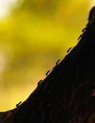 (Dumarafon) Tags: animal contraluz bokeh ant micro miniatura silhueta formiga flickraward flickraward5 flickrawardgallery