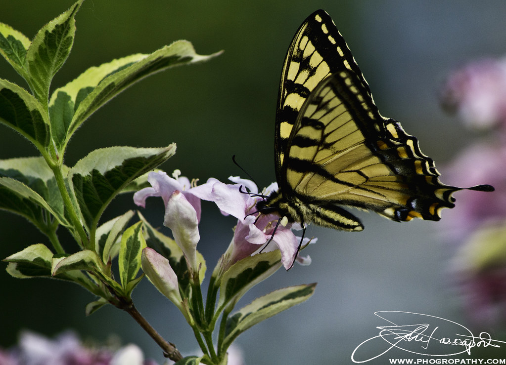 Yellow Butterfly Revisited