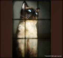 I am siamese , if you please  :)