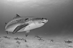 Tiger Shark (Todd Bretl) Tags: blackandwhite shark wideangle sharks bahamas lemonshark jasa tigershark tigerbeach d7000