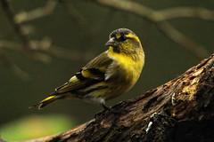 Male Siskin. (stonefaction) Tags: nature birds forest scotland angus wildlife siskin faved montreathmont