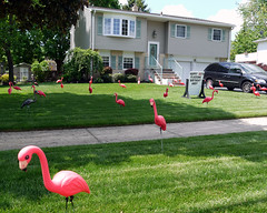 Pink flamingoes (Sheena 2.0) Tags: pink usa america newjersey flamingo flock hamilton nj mercercounty getflocked flamingoe whattheflock