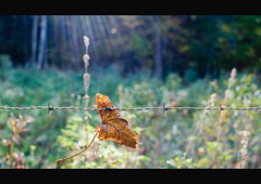 Hang in there (karin2xk) Tags: autumn pierced fall sunshine forest leaf barbedwire hanging