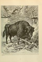 n490_w1150 (BioDivLibrary) Tags: bison mammals europeanbison wisent animalbehavior americanmuseumofnaturalhistorylibrary taxonomy:binomial=bisonbonasus bhl:page=9885865 dc:identifier=httpbiodiversitylibraryorgpage9885865