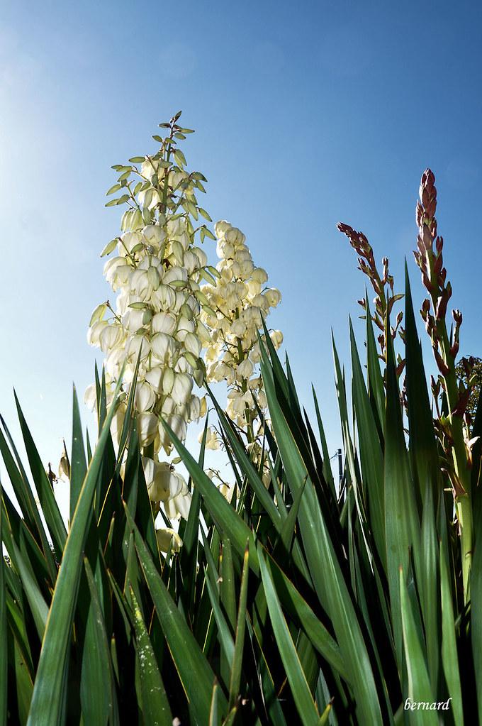 SGM fleurs de cactus.2.r