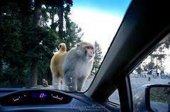 Monkey Business! (Usman Hayat) Tags: car monkey amazing nikon awesome nikkor hayat usman d5100 uhayat