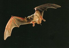 Flying Carlsbad Cavern Bat