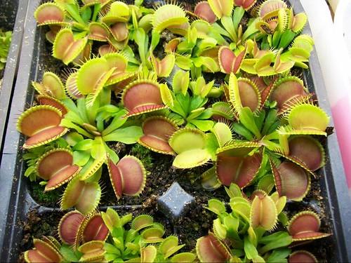 Flytraps
