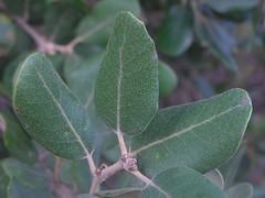 Quercus ilex subsp. ballota am Weg zur Ermita de Betlem, NGIDn1785306994 (naturgucker.de) Tags: spanien balearen quercusilex steineiche ermitadebetlem naturguckerde cwolfgangkatz ngidn1785306994