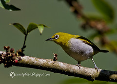 whie_eye (goodfriend19) Tags: bird beautiful birds canon 7d 400mm whiteeyes naturesfinest coth supershot birdphoto orientalwhiteeye birdimage avianexcellence 10nw 400mm56l coth5 5wonderwall babunai