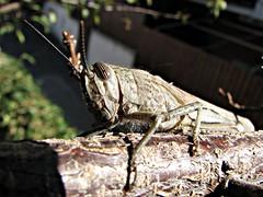 Ospiti a casa (Il cantore) Tags: macro insect eyes branch occhi grasshopper ramo antenne insetto feelers cavalletta 15challengeswinner canoniani bokehmacrofriends