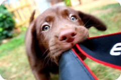 (newites) Tags: dog pet brown animal puppy eyes lab labrador chocolate perro ojos cachorro sick choco mascota marrn newites