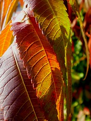 Sumac in morning light... (Maureclaire) Tags: autumn autumnfoliage red orange macro tree green leaves ma morninglight october herbst herfst el sumac otoo shrub  autunno haust  outono hst syksy autumncolor podzim hsten rhus musim sonbahar jesen anacardiaceae efterr sz lautomne   gugur jesieni   jeseni blinkagain   turnersfallsmawestern