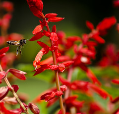 for the sake of being different (PNike (Prashanth Naik)) Tags: red india flower green nature colors flying nikon asia flight bee buds hyderabad osmania d7000 pnike osmaniagardens