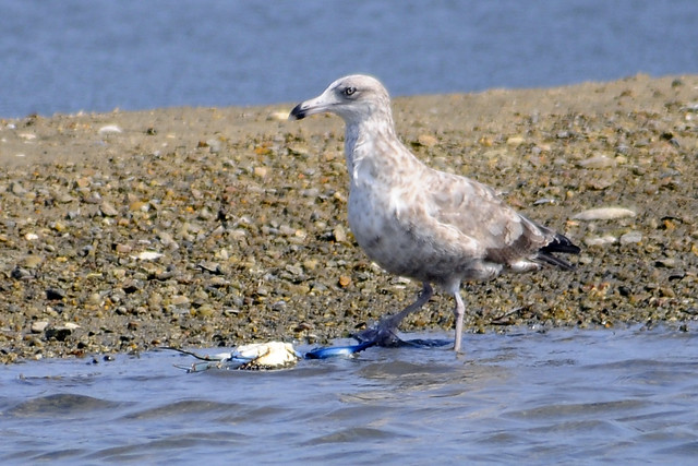 Juv gull with blue crab 3
