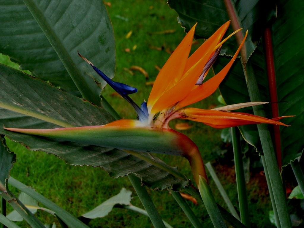 Bird of Paradise Flower (Strelitzia)
