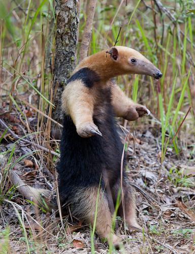 Tamandúa-mirim (Tamandua tetradactyla) by Sinara Conessa, on Flickr
