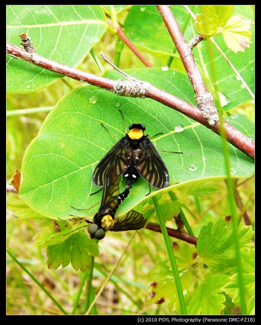 Golden-backed Snipe Flies (Chrysopilus thoracicus)