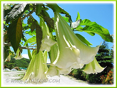 Brugmansia suaveolens (Angel's Trumpet) - hybrid with white flowers, maybe 'Super Nova' or 'Brazilian White'