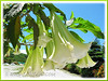 Brugmansia suaveolens (Angel's Trumpet, Angel-star, Angel's Tears, Tree Datura, Toa, Maikoa) - hybrid with white flowers
