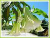 Brugmansia suaveolens (Angel's Trumpet, Angel-star, Angel's Tears, Tree Datura, Toa, Maikoa) - hybrid with white flowers