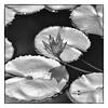 IMG_2816 (PCsAHoot - Dipping toes in...) Tags: nature waterlily blackwhitephotos magicunicornverybest sbfmasterpiece 1001nightsmagiccity