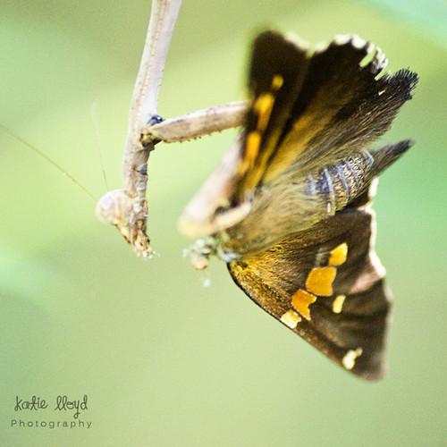 praying-mantis-4
