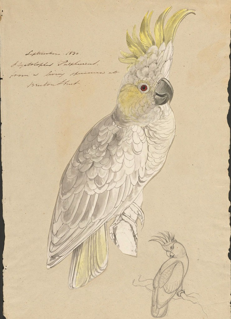 Lesser sulphur-crested cockatoo --  ink, graphite and watercolour drawing (15)