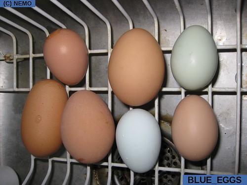 blue_eggs