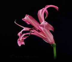 Nerine Stacked Focus (Nigel Dell) Tags: ngdphotos