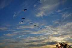 Geese Flyover DSC_1836 by Mully410 * Images